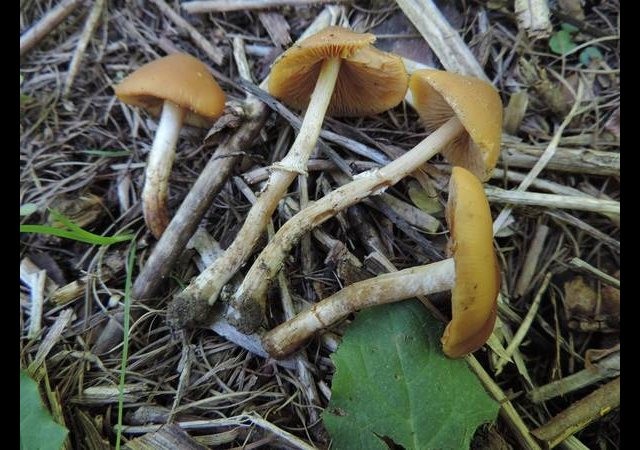 Le Conocybe printanier ©photo O. Lussiana
